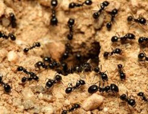 شركة مكافحة النمل في الفجيرة |0547137712| النمل الاسود
