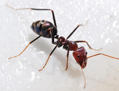 شركة مكافحة النمل في راس الخيمة |0561484426| مكافحة حشرات
